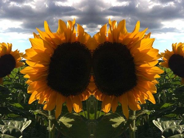 100days_21sunflowers