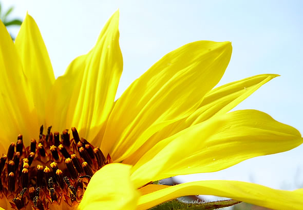 bilder_blog_sunflower
