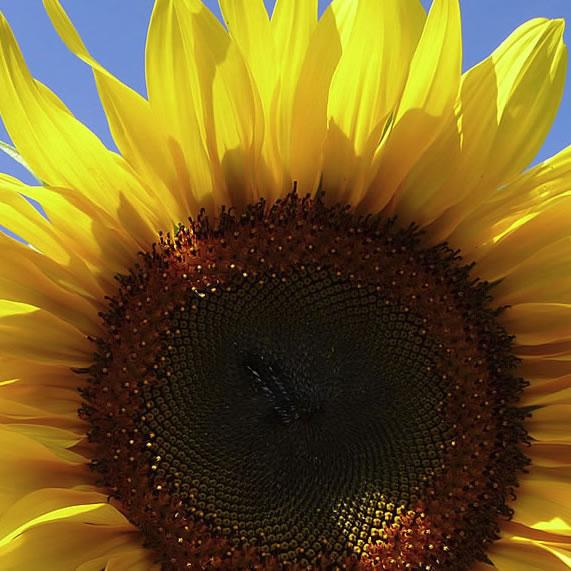 nature6-sunfloweryy