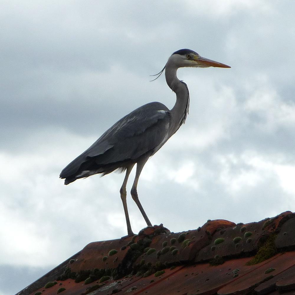 photo-heron